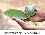 leaves of mitragyna speciosa ...   Shutterstock . vector #677638021