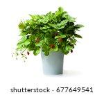 Alpine  Strawberry Plant In...