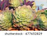 Group Of Succulents Aeonium...