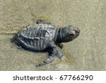 A Young Olive Ridley Turtle...