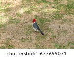 Red Crested Cardinals  A...