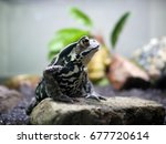 Eastern Japanese Common Toad