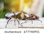 Small photo of Male Rhinoceros beetle are fighting on wooden with nature background Rhinoceros beetle, Rhino beetle,Fighting beetle