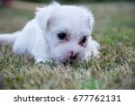 Stock photo white terrier puppies playing outdoor 677762131