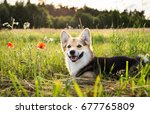 happy and active purebred welsh ... | Shutterstock . vector #677765809