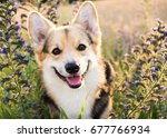 Stock photo happy and active purebred welsh corgi dog outdoors in the flowers on a sunny summer day 677766934