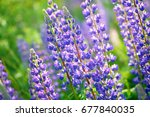 lupinus  lupin  lupine field... | Shutterstock . vector #677840035