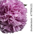 pink peony isolated on white | Shutterstock . vector #677856121