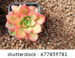 Small photo of Aeonium haworthii varigalum succulent in pot pink red leaves