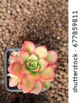 Small photo of Aeonium haworthii varigalum succulent in pot rose shaped pink leaves