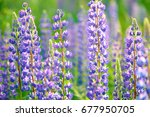 lupinus  lupin  lupine field... | Shutterstock . vector #677950705