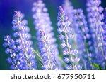 lupinus  lupin  lupine field... | Shutterstock . vector #677950711