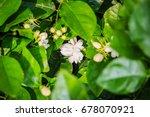 cluster of budding jasmine... | Shutterstock . vector #678070921