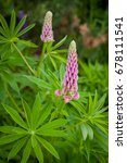 blooming wild lupine flowers in ... | Shutterstock . vector #678111541