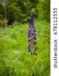 wild lupine blooming flowers in ... | Shutterstock . vector #678112555
