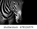 Mono Close Up Of Grevy Zebra I...