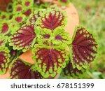 Colorful Of Coleus Brumei...