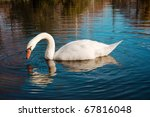 beautiful white swan in the... | Shutterstock . vector #67816048