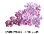 Fresh Lilac Flower Isolated On...