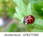 ladybird on a plant leaf | Shutterstock . vector #678177385