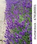 purple lavender flowers | Shutterstock . vector #678180001