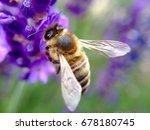 bee pollinating lavender flower | Shutterstock . vector #678180745