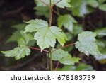 Small photo of Mountain maple, moosewood, Acer Spicatum Lam.