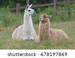 Alpaca Lama Mammal Resting In...