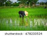 Transplant Rice Seedlings In...