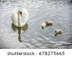 White Mother Swan Swim With He...