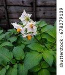 potato plant growing | Shutterstock . vector #678279139