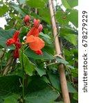 runner bean plant growing | Shutterstock . vector #678279229