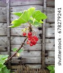 red currant plant growing | Shutterstock . vector #678279241