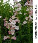 tall pink bell flowers | Shutterstock . vector #678282511