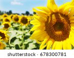 sunflower field | Shutterstock . vector #678300781