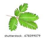 sensitive plant  sleepy plant ...   Shutterstock . vector #678399079