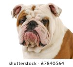 English Bulldog Head Portrait...