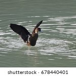 Small photo of Sunda Teal, an endemic species duck, waterbird or wader swimming in the lake at Tomohon, North Sulawesi, Indonesia. Happy wild animal in natural habitat in nature reserve, free and independent.
