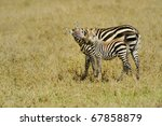 A Zebra Kiss Her Baby