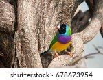 the gouldian finch or erythrura ... | Shutterstock . vector #678673954
