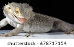 Male Adult Bearded Dragon Abou...