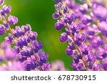 lupinus  lupin  lupine field... | Shutterstock . vector #678730915