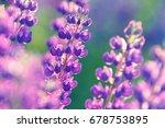 lupinus  lupin  lupine field... | Shutterstock . vector #678753895