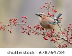 Jay sitting on the nice branch with berries - stock photo
