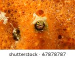 Small photo of Secretary Blenny (Acanthemblemaria maria) poking its head out from an orange sponge in Bonaire, Netherlands Antilles