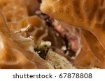 Small photo of Secretary Blenny (Acanthemblemaria maria) peering out from a coral head on a reef in Bonaire, Netherlands Antilles
