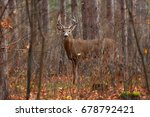 White Tailed Deer Buck Walking...