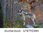 a lone timber wolf or grey wolf ... | Shutterstock . vector #678792484