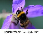 The Buff Tailed Bumblebee ...