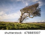 A Windswept Tree That Is...